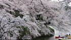 People in boats view cherry blossoms along Imperial Palace moats in Tokyo. Photograph: Reuters