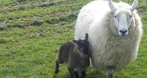 The animal, which is much more nimble on his feet than a typical lamb, and its mother