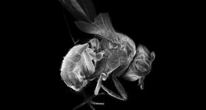 Drosophila: an accomplished dancer. Photograph: Getty Images
