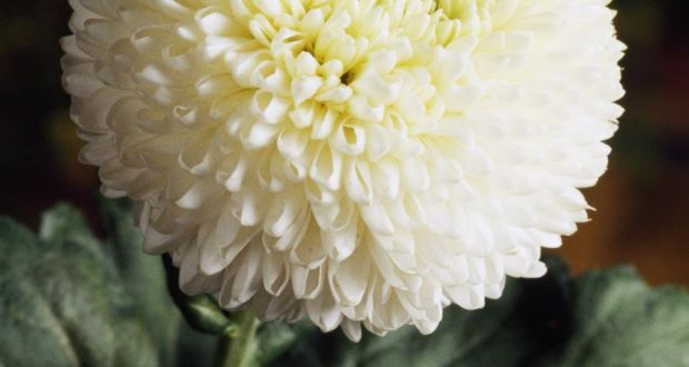 Chrysanthemums the word a flower in need of nurture gilson describes the giant puffball white flower as looking like a snowball had been stuck mightylinksfo