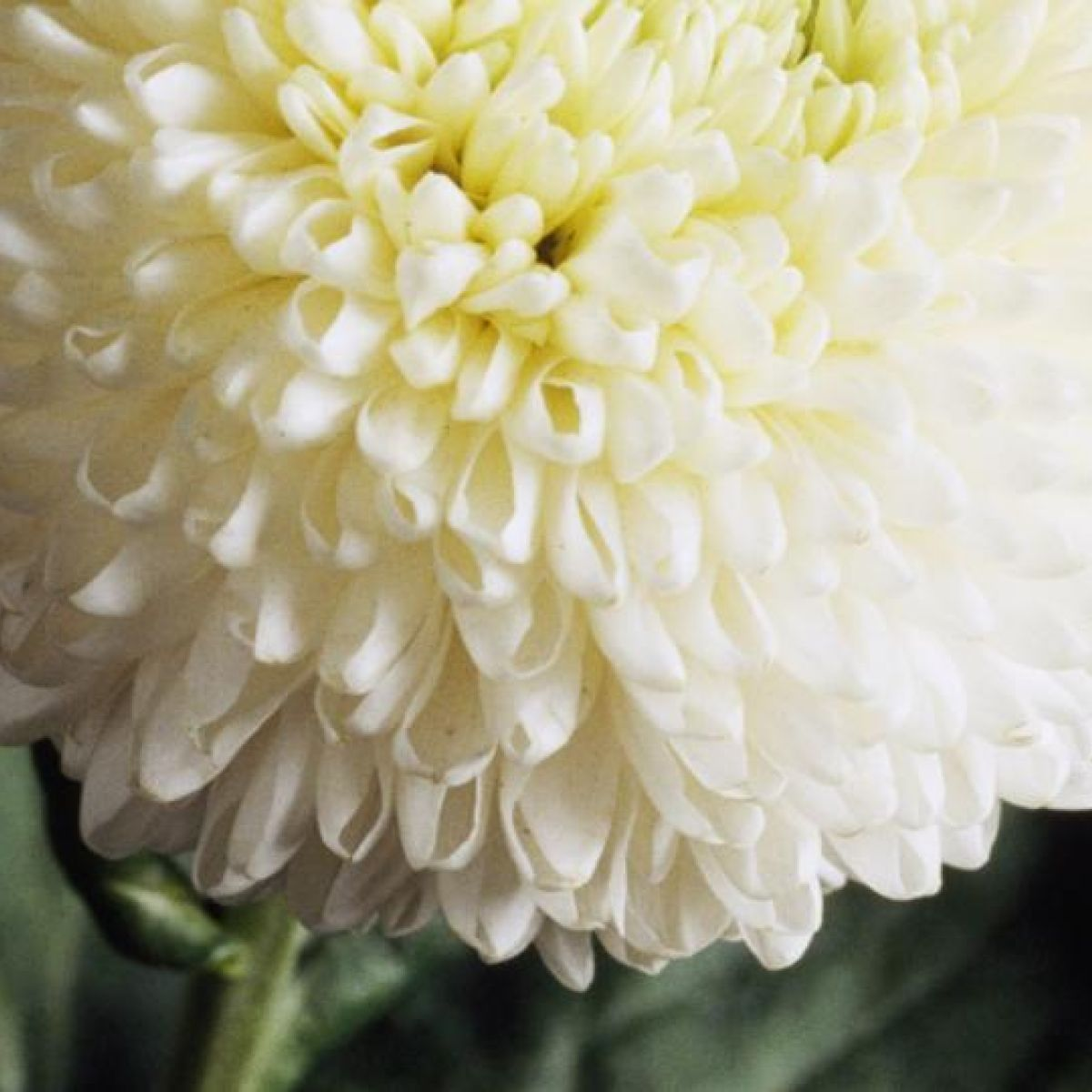 Chrysanthemums The Word A Flower In Need Of Nurture