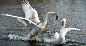 Swans play in the Grand Canal at Goldenbridge Road, Dublin. Photograph: David Sleator/THE IRISH TIMES