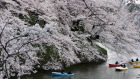 Cherry blossom in bloom in Tokyo. If only the school year was as shortlived. Photograph: Reuters