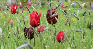 Tulips Red Shine and Abu Hassan in June Blake's Co Wicklow garden. Photograph: Richard Johnston