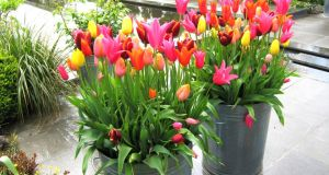 Tulips growing in dustbins