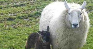 A geep – a cross between a goat and a sheep – on a farm in Co Kildare, with a sheep