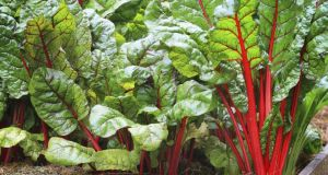 Sow seeds of colourful, unusual cut-and-come-again salad leaves this week