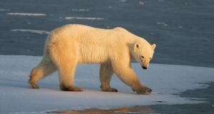A polar bear   outside Churchill, Manitoba: experts at NUI Maynooth and Dublin City University analysed the genomes of 70 polar bears to find out what  allows them to be so  fat yet completely healthy. Photograph: AFP Photo/Paul J Richards