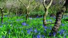 Bluebells in the Devil's Glen. Photograph: Michael Delahunty