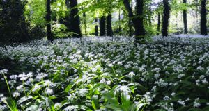Wild garlic in the Glen of the Downs, which grows in great profusion in woodlands in Wicklow during May. Photograph: Michael Delahunty