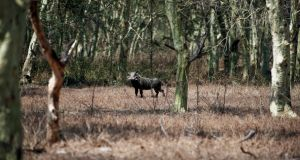 A warthog stands among trees  in the Gorongosa National Park, Mozambique