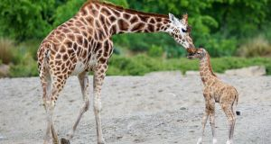 This baby giraffe born last week already measures 1.7m  and weighs about 70kg. Photograph: Patrick Butler Photography