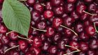 There is some evidence to suggest that cherries help lower uric acid levels and frequency of gout attacks. Photograph: Thinkstock
