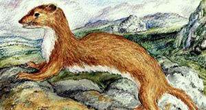 Irish stoat: the animal is a distinct subspecies. Illustration: Michael Viney
