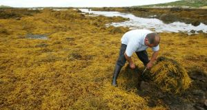 Harvesting seaweed on the west coast near Carna, Co Galway. Photograph:  Joe O'Shaughnessy
