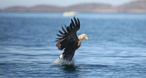 File photograph of white-tailed eagle. Photograph: Valerie O'Sullivan