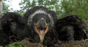 File photograph of white--tailed eagle chick,born in Mountshannon, Co Clare, last year. Photograph:Allan Mee/Golden Eagle Trust