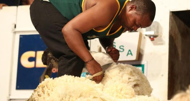 New Zealand Takes Top Prize In Sheep Shearing World