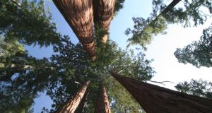 Sequoia sempervirens can be more than 100m high