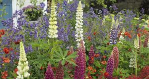 Lupins are popular at the Bloom event. Photograph: Richard Johnston