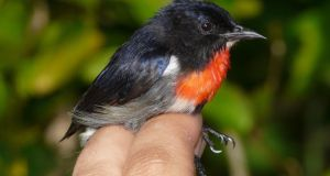 An undated handout photo issued by Trinity College Dublin of a male Wakatobi Flowerpecker (Dicaeum kuehni) that was caught on Tomia Island by Trinity College Dublin zoologists in the biodiversity hotspot of Sulawesi, Indonesia. Photograph: Trinity College Dublin/PA Wire.