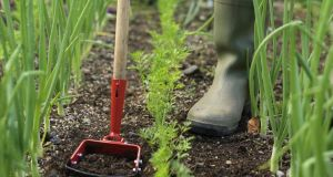 Keep weeds in check with an oscillating hoe, favourite of many professional gardeners. Photograph: Richard Johnston