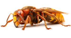 Vespa crabro, the European hornet. Photograph: Thinkstock
