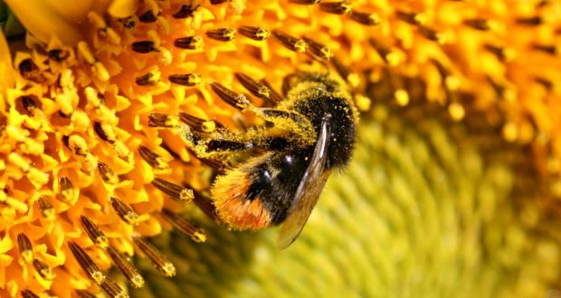 Image result for The greater the number of bee species, the better pollination