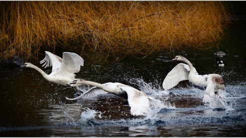 Swans take flight from the lake in St Stephen's Green. Photograph: Bryan O'Brien /The Irish Times