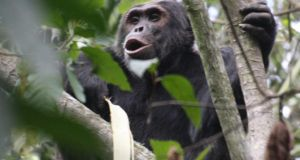The chimps' efforts have been repeated by other species in these preserves including mountain gorillas, buffaloes, forest elephants and golden monkeys.