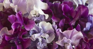 Keep picking sweet pea to encourage further flowering