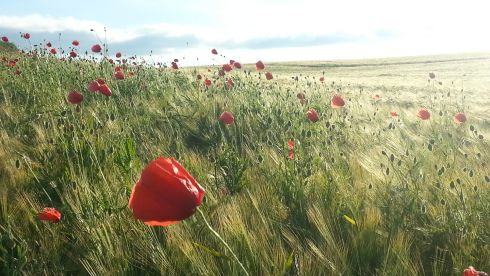Poppies growing in a field of barley near sunset on June 19th, 2014, near Ardee, Co Louth. Photograph: David McNicholas