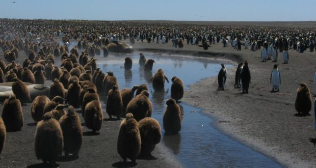 'King penguin colonies are very crowded and can stretch for more than 1km on the relatively flat and featureless beaches, yet individuals know how to find their place within such colonies'