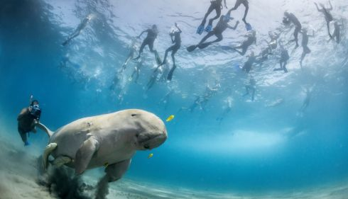 There's the dugong with quite an entourage. Commended, World in Our Hands Award Photograph: Douglas Seifert, USA