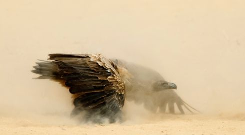 """The white-backed vultures were all fighting for the best feeding position,"" says the photographer of this shot. This particular bird had backed off from the fights, ""but with head lowered and wings outspread was preparing to go back in"". Joint Runner Up, Animal Portraits. Location: Kgalagadi Transfrontier Park, South Africa. Photograph: Peter Delaney, Ireland"