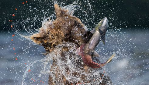 A brown bear emerges from the waters of Lake Kuril Kamchactka, Russia, with a large salmon. Specially Commended, Behaviour. Photograph: Valter Bernardeschi, Italy