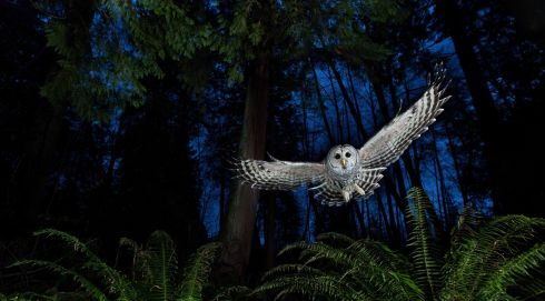 Here the photographer set up a remote-controlled camera and three off-camera flashes by the owl's favourite perch near Burnaby in British Columbia, Canada. He put a dead mouse on a platform above the camera and waited for the owl to swoop. Winner, Eric Hosking Portfolio Award. Photograph: Connor Stefanison, Canada