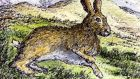 Irish hare: likes good quality, sugar-rich grass. Illustration: Michael Viney