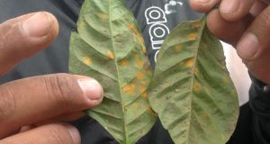 Leaf rust, rampant in Central America this year, is the biggest threat to Nicaragua's coffee crop. Photograph: Brenda Fitzsimons