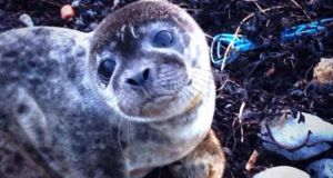 The baby seal was about four weeks old. Photograph: An Garda Síochána