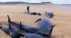 Screengrab image taken from the Twitter feed of @BarryWhyte85 of six of the 13 whales that were stranded on a beach off Donegal. PA