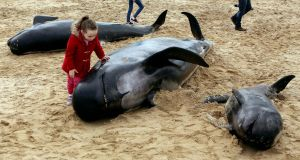 Dead whales which were beached at Ballyness Beach in North Donegal. Photograph: Joe Boland/North West Newspix