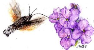 Hummingbird Hawkmoth: visitor from Europe. Illustration: Michael Viney