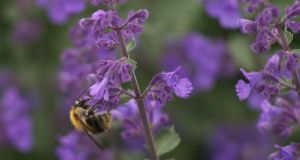 Catmint (Nepeta sp) is known for its aromatic foliage. Photograph: Richard Johnson