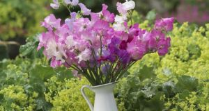 A vase of lightly scented sweet pea flowers. Photograph: Richard Johnston