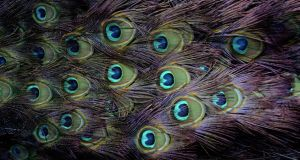 Uncanny: detail of  a peacock's tail feathers. Photograph: Charles McQuillan/Pacemaker
