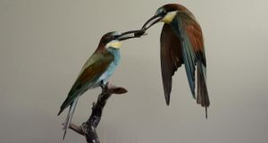 Uncanny: bee-eaters preserved mid-snack by Ingrid Houwers. Photograph: Charles McQuillan/Pacemaker