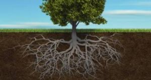 Tree and root irish roots image for monday tom page