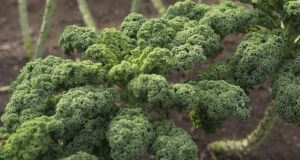 Plant out young kale plants  before they become pot-bound. Photograph: Richard Johnston