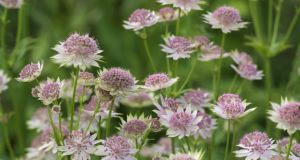 Work your way through flowerbeds, them, removing weeds, and cutting back the spent flower-heads of perennials such as astrantias. Photograph: Richard Johnston